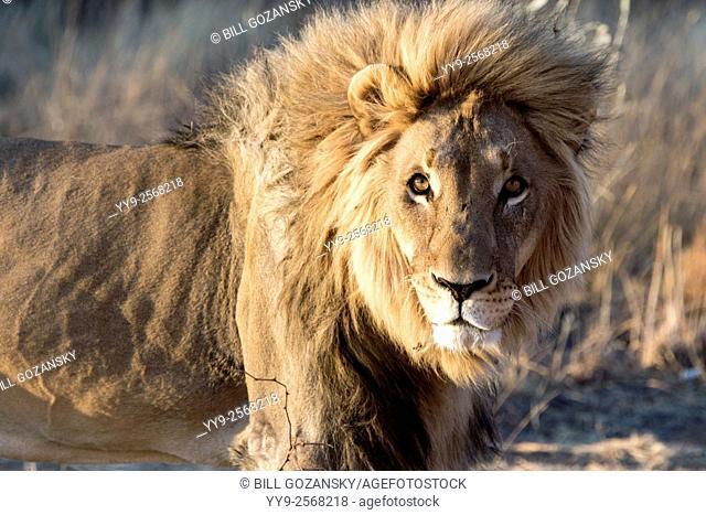 Male Lion (Panthera leo) [CAPTIVE] - Africat Sanctuary - Okonjima, Namibia, Africa