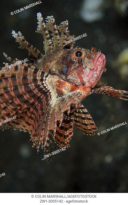 Shortfin Lionfish (Dendrochirus brachypterus), Night dive, TK1 dive site, Lembeh Straits, Sulawesi, Indonesia