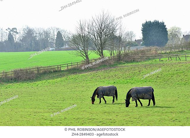Loose Village, Maidstone, Kent, UK. Two horses grazing in a field