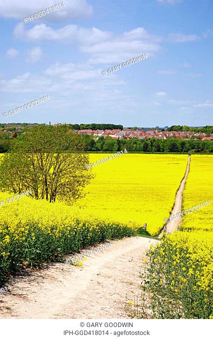 Pathway through a colourful rapeseed field in full bloom on the outskirts of Dorchester, the county town of Dorset