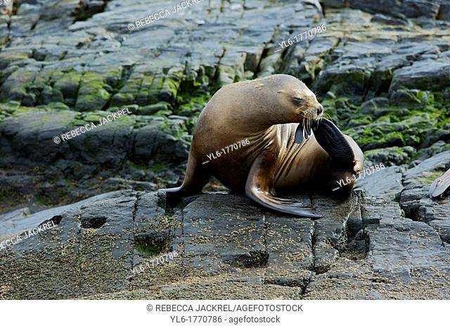 A southern sea lion Otaria flavescens scratches his nose on a small island in the Beagle Channel, Tierra del Fuego, Argentina