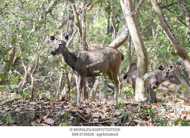 Asia, India, Uttarakhand, Jim Corbett National Park, Sambar Deer (Rusa unicolor), adult female