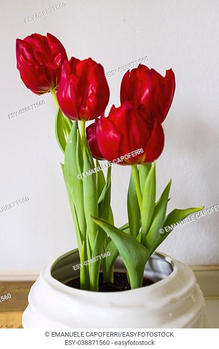 red tulips on white background of house wall