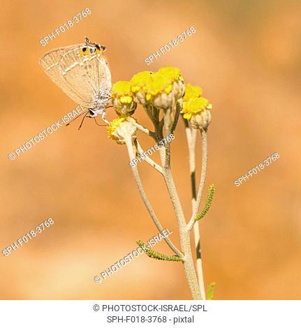 GerhardÔÇÖs Black Hairstreak (Satyrium abdominalis) is a butterfly in the family Lycaenidae. Photographed in Israel in June