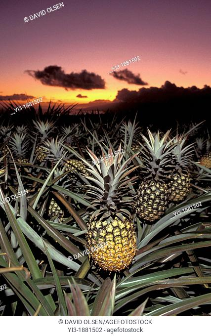 Pineapples upcountry Maui, Hawaii at sunset