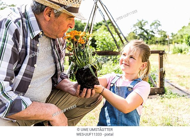 Grandfather and granddaughter in the garden with flower