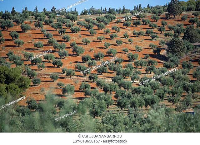 Plantation Olive Trees