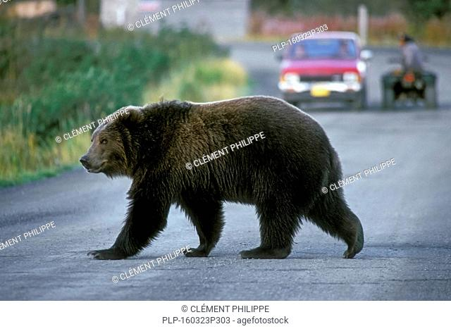 Kodiak brown bear / Alaskan grizzly bear (Ursus arctos middendorffi) crossing road in Larsen Bay, Kodiak Island, Alaska