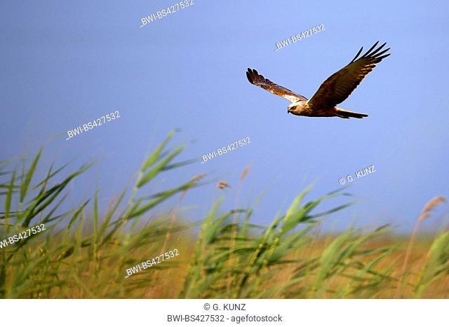 red kite (Milvus milvus), in flight over cattail, side view, Romania, Danube Delta