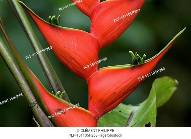 Close up of Heliconia orthotricha, native to Colombia, Ecuador and Peru