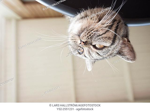 Playful cat on adventure. Lying on table with head upside down looking away