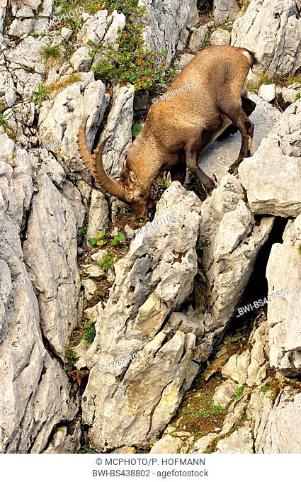Alpine ibex (Capra ibex, Capra ibex ibex), climbing in a steep wall, Germany