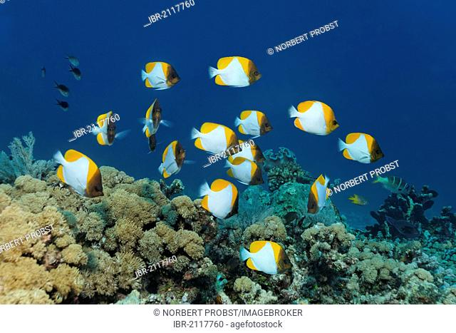Shoal of Yellow Pyramid Butterflyfish (Hemitaurichthys polylepis) swimming above a coral reef, Great Barrier Reef, UNESCO World Heritage Site, Queensland