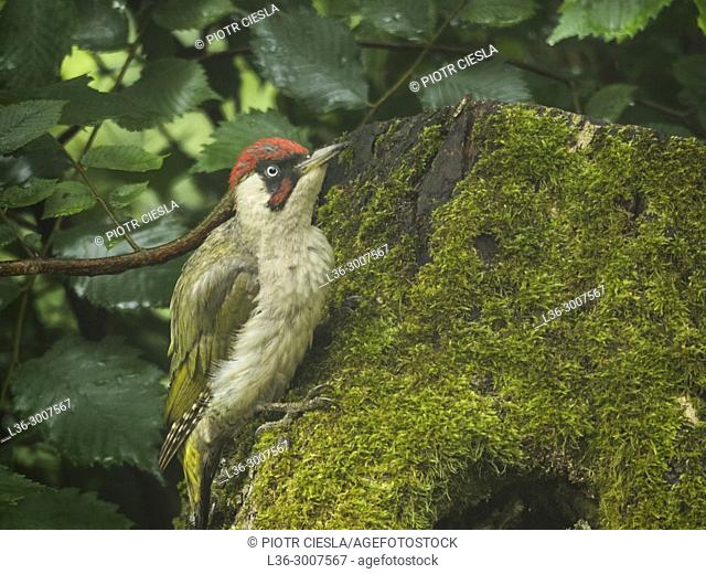 Green woodpecker (Picus viridis). Poland