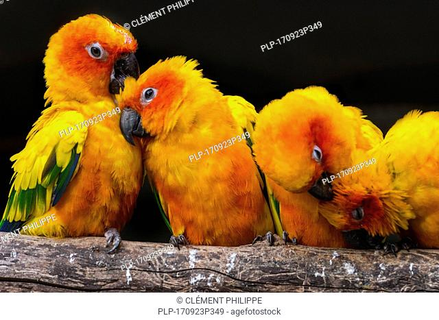 Sun parakeets / sun conures (Aratinga solstitialis) flock perched on branch and grooming each other, South America