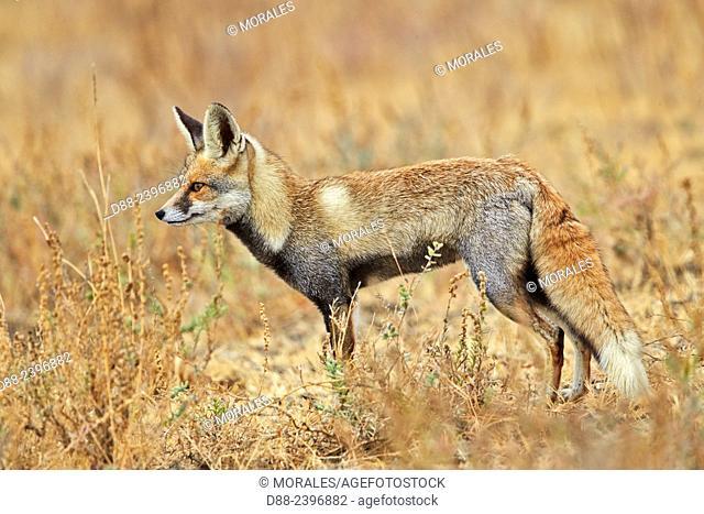 India,Gujarat,Little Rann of Kutch,Wild Ass Sanctuary,Desert fox or white-footed fox (Vulpes vulpes pusilla)