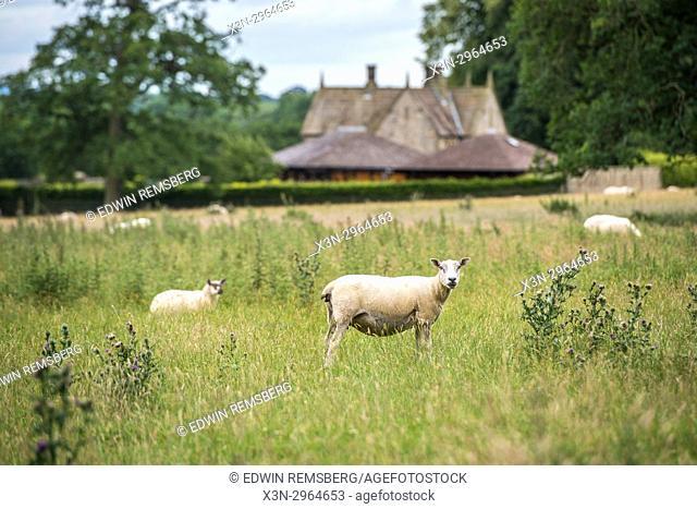 flock of sheep roam in grassy field at Kiplin Hall, Scorton, Richmond, North Yorkshire