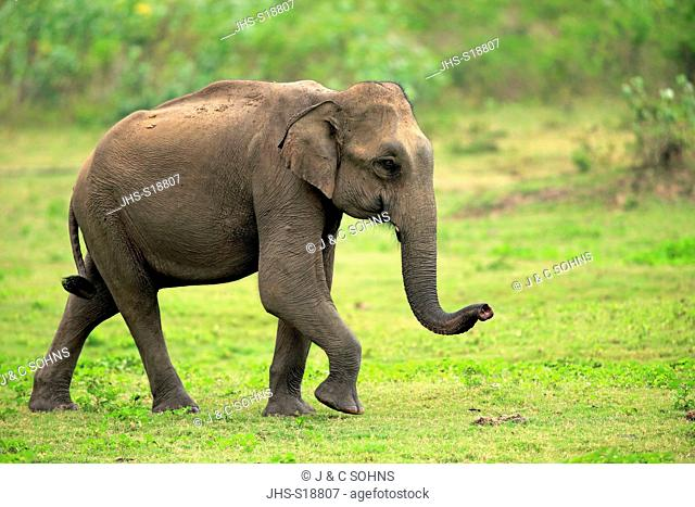 Sri Lankan Elephant, (Elephas maximus maximus), Asian Elephant, adult male smelling, Udawalawe Nationalpark, Sri Lanka, Asia