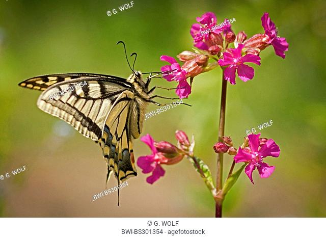 swallowtail (Papilio machaon), sitting on a blooming sticky catchfly, Germany