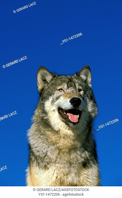 North American Grey Wof, canis lupus occidentalis, Portrait of Adult