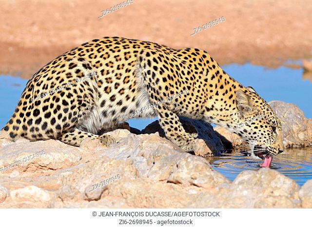 Leopard (Panthera pardus), drinking water, Kgalagadi Transfrontier Park, Northern Cape, South Africa, Africa