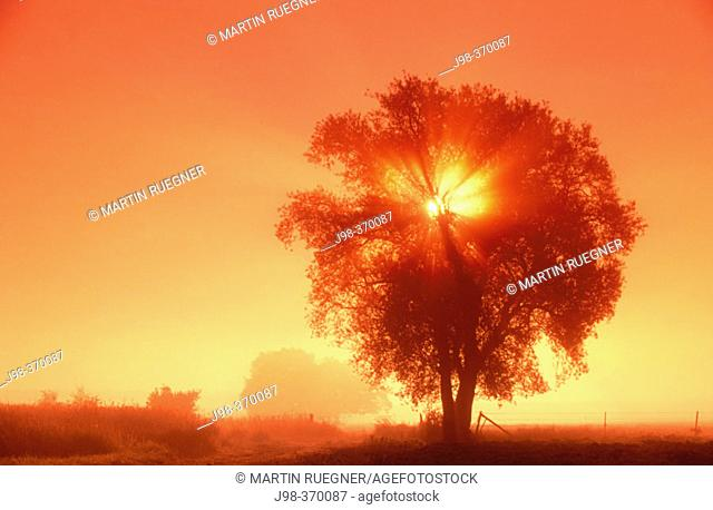 Sunrise behind a tree with morning mist and fog. Meuse Département, near verdun. France