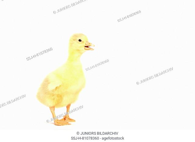 Domestic Goose. Gosling standing. Studio picture, seen against a white background. Germany