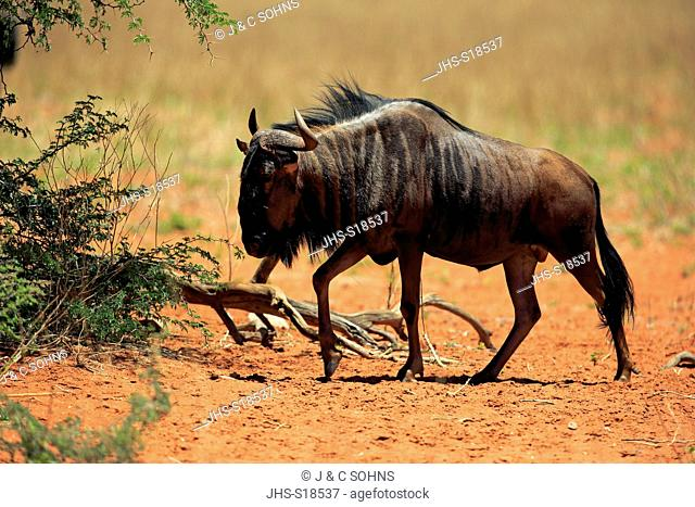 Blue Wildebeest, common wildebeest, white-bearded wildebeest, brindled gnu, (Connochaetes taurinus), adult walking, Tswalu Game Reserve, Kalahari, Northern Cape