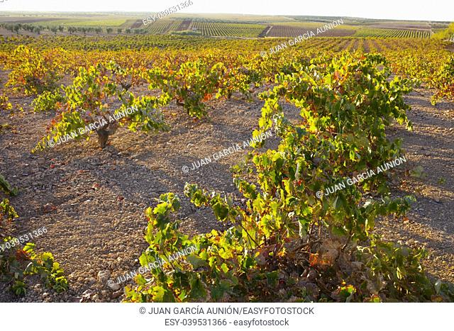 Vines plantation under october sunset light at wine growing region of Tierra de Barros, Extremadura, Spain