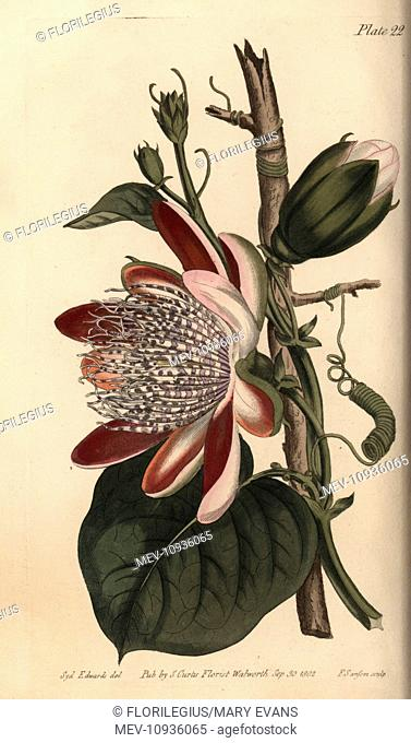 Passionflower, Passiflora species. Handcoloured copperplate engraving of a botanical illustration by Sydenham Edwards for William Curtis's Lectures on Botany