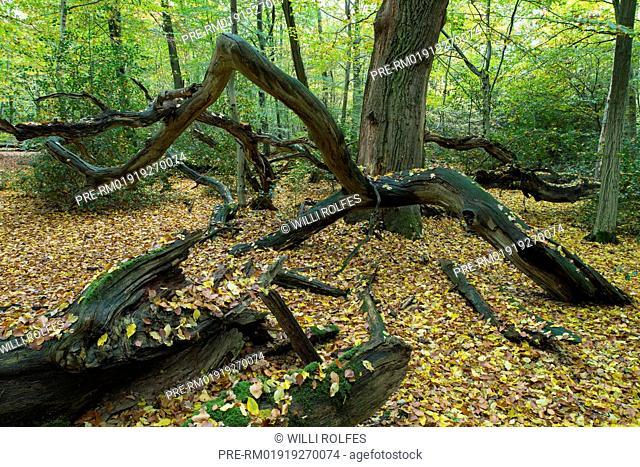 Autumnal Beech Forest at Hasbruch, Oldenburg district, Niedersachsen, Germany / Herbstlicher Buchenwald im Hasbruch, Landkreis Oldenburg, Niedersachsen