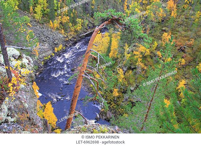 A forest glowing with autumn tints at the canyon in the Oulanka National Park in Finnish Lapland