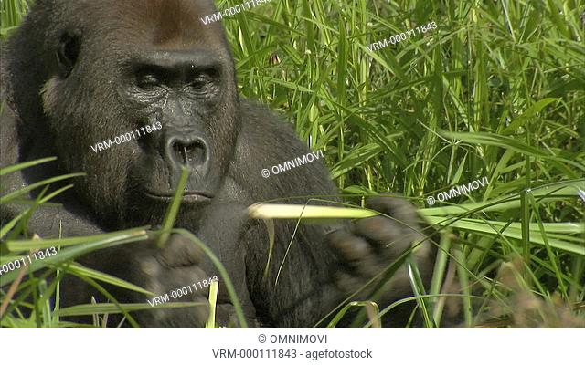 Mikumba the Silverback Western Lowland Gorilla sitting on forest floor eating roots of leaves