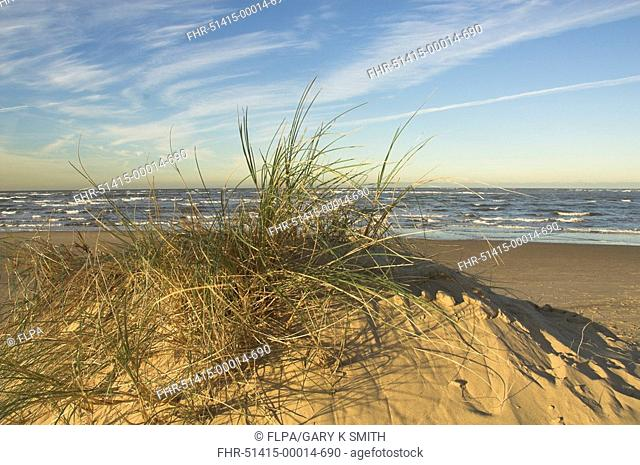 Marram Grass Ammophila arenaria growing on beach dunes with shoreline in background, North Norfolk, England