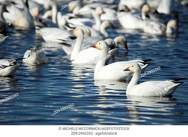 Migratory snow geese at the Sacramento National Wildlife Refuge