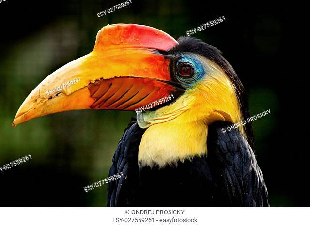Wrinkled Hornbill, Aceros corrugantus
