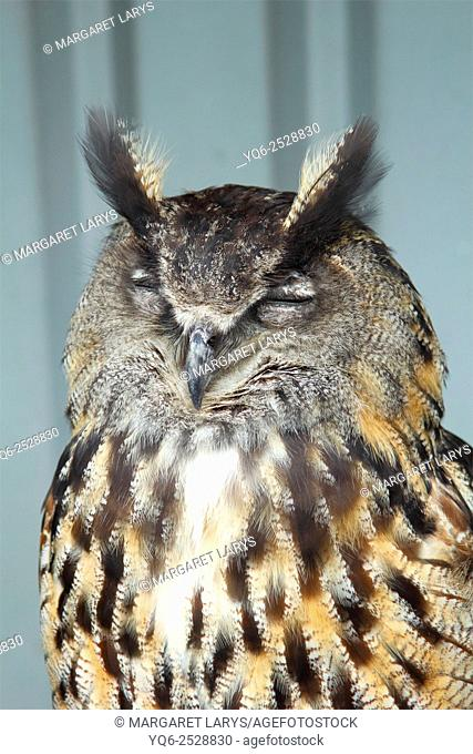 European Eagle Owl, Bubo Bubo sleeping in the Bird's Centre near Cambernould, Scotland, close up portrait