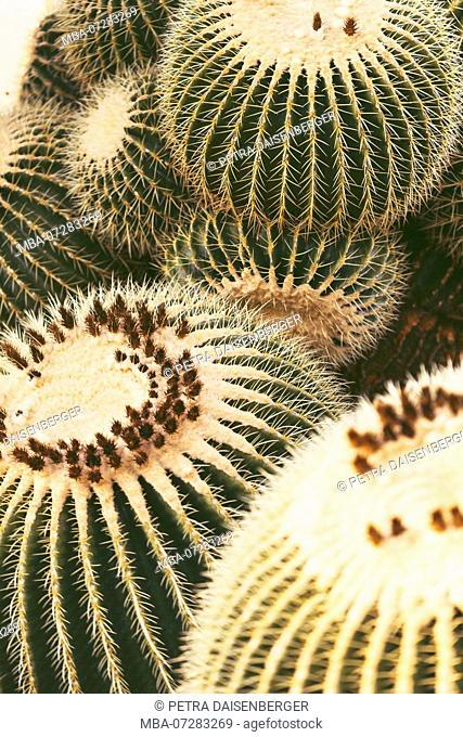 Cacti, golden barrel cactus, Echinocactus grusonii, close-up