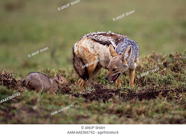 Black-backed jackal with playful pup aged 4 weeks (Canis mesomelas). Maasai Mara National Reserve, Kenya. Aug 2011