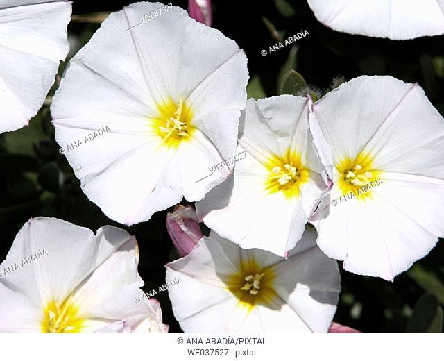 Morning Glory (Ipomoea sp.)