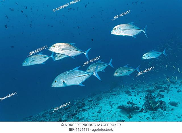 School of bluefin trevally (Caranx melampygus), chasing small fish on coral reef, Lhaviyani Atoll, Maldives