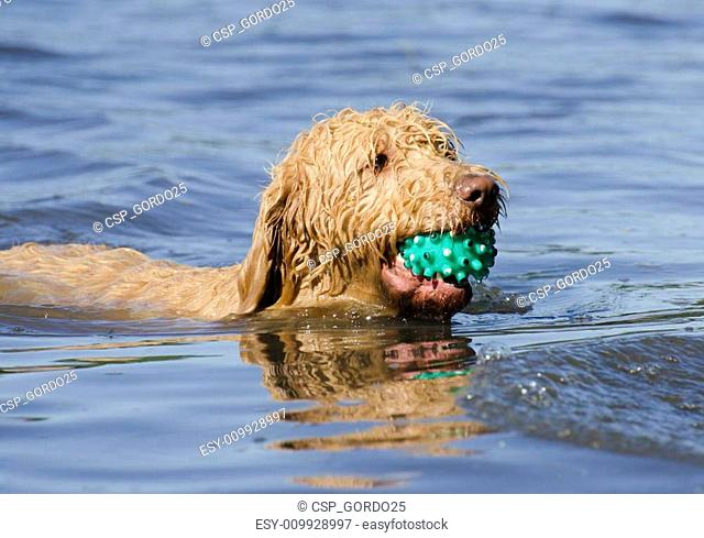 Labradoodle Dog Fetching the Ball