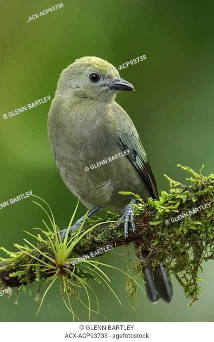 Palm Tanager (Thraupis palmarum) perched on a branch in Costa Rica