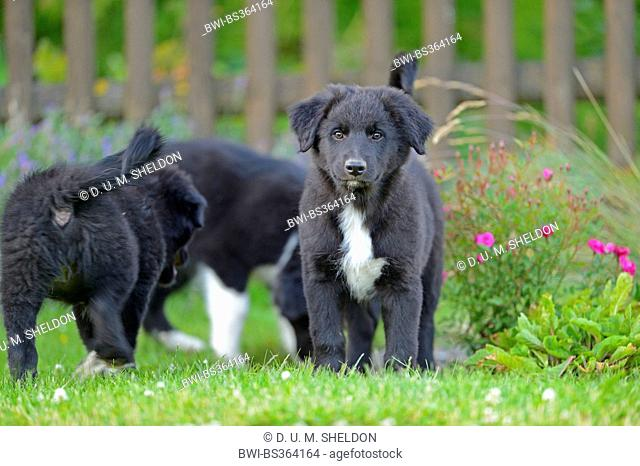 mixed breed dog (Canis lupus f. familiaris), three mongrel puppies in the garden, Germany