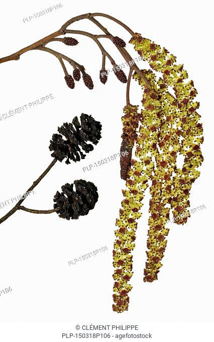 Black Alder / European Alder / Common Alder (Alnus glutinosa) male catkins and female inflorescences against white background in spring