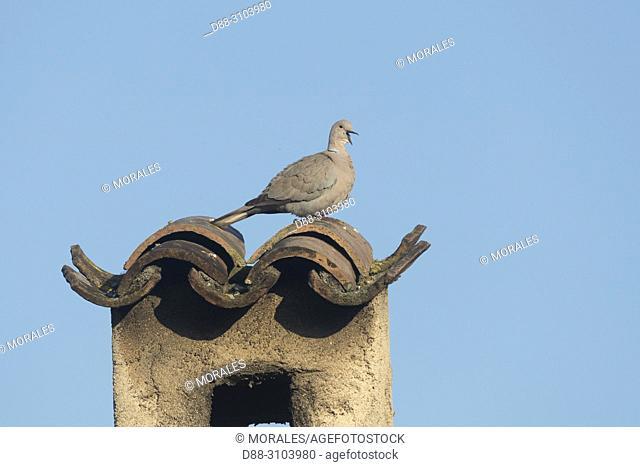France, Alpes-Maritimes, Mandelieu, Eurasian Collared Dove on a chimney