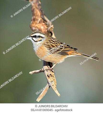 Rock Bunting (Emberiza cia) perched on a twig. Austria