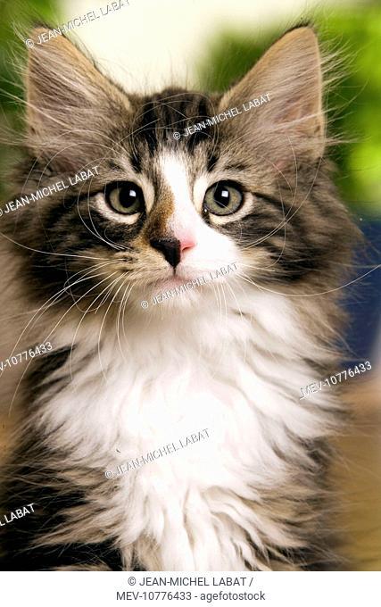 Norwegian Forest Silver and White Mackerel Tabby Cat