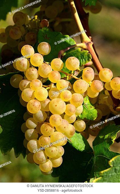 Europe, Switzerland, canton Vaud, La Côte, Nyon district, Mont-sur-Rolle, vineyards in autumn, Muscat Ottonel grapes