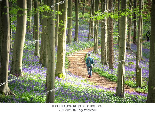 Bluebells into the Halle Forest, Halle, Bruxelles, Flandres, Belgium